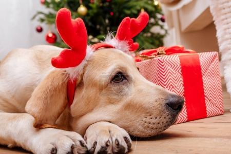 Photo pour Chien labrador retriever mignon avec bois de renne de Noël, arbre de Noël et cadeaux sur le fond - image libre de droit