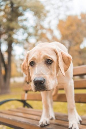 Labrador dog on bench