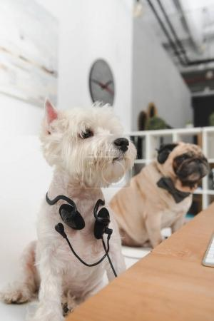 Photo for Two funny business dogs with headphones sitting together at workplace - Royalty Free Image