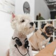 business dogs with headsets