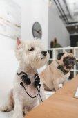 "Постер, картина, фотообои ""Бизнес собак с наушниками"""