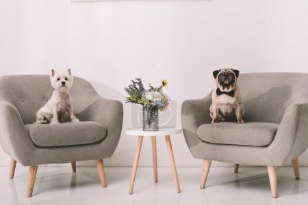 dogs on armchairs