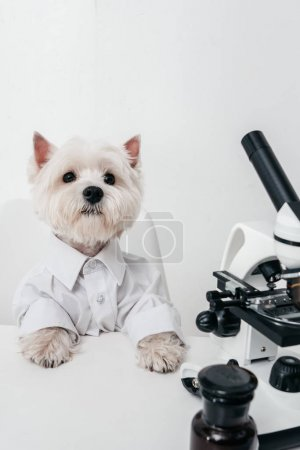 west highland white terrier with microscope