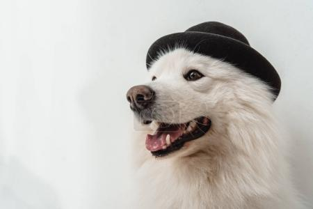 dog in black hat