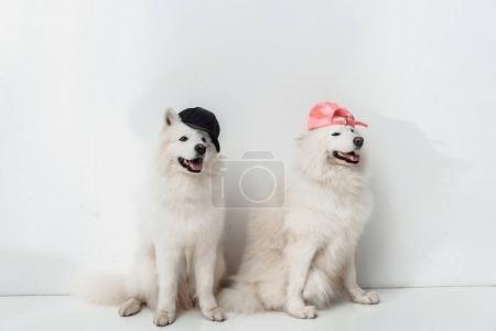 Photo for Adorable fluffy samoyed dogs in caps sitting together on white - Royalty Free Image