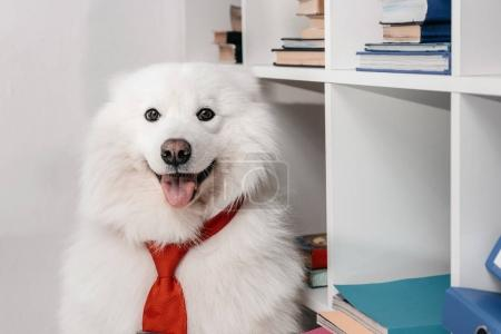 Photo for Cute furry samoyed dog in necktie looking at camera while sitting near bookshelves - Royalty Free Image