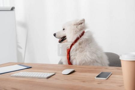 Photo for Cute furry samoyed dog in necktie looking away while sitting at workplace - Royalty Free Image