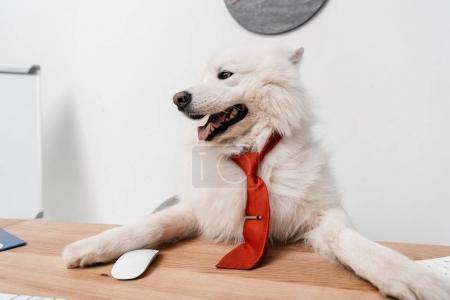 Photo pour Mignon chien Samoyède en cravate, assis au milieu de travail - image libre de droit