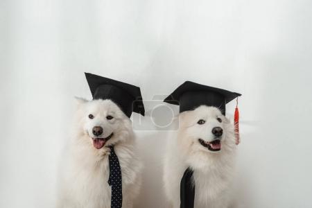 Photo for Adorable samoyed dogs in graduation hats sitting together on white - Royalty Free Image
