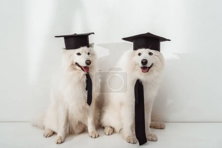 Photo for Adorable samoyed dogs in graduation hats sitting together - Royalty Free Image