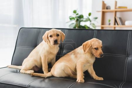 Two beige puppies sitting on leather couch