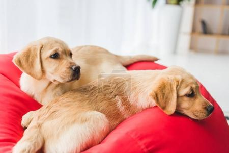 Closeup view of two beige puppies lying on red bag chair