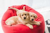 """Постер, картина, фотообои """"Два бежевый щенков, лежа на стуле красный мешок"""""""
