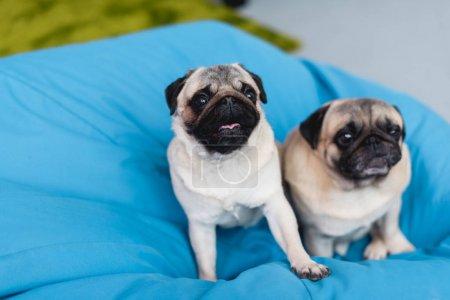 two cute pugs on blue bean bag chair at home