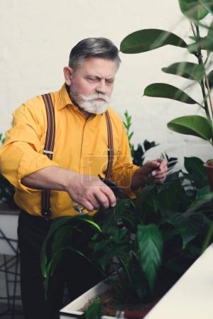 Photo pour Concentré senior jardinier arrosage plantes vertes à l'intérieur - image libre de droit