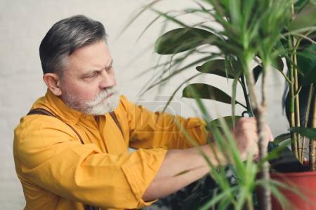 Photo pour Homme âgé sérieux plantation de plantes vertes à la maison - image libre de droit