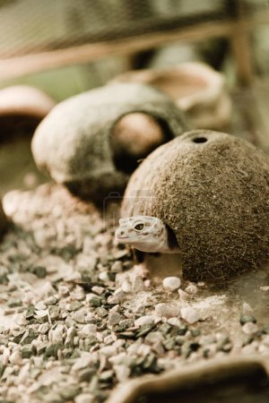 Photo for Selective focus of lizard near coconut shell and stones - Royalty Free Image