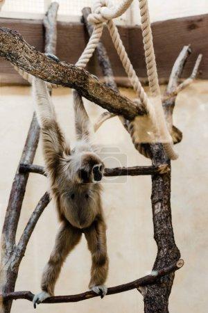 Photo pour Focus sélectif de l'alpinisme de singes marmouset dans un zoo - image libre de droit