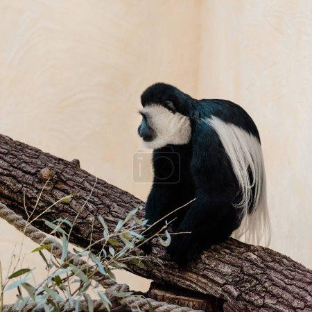 Photo pour Foyer sélectif de singe noir et blanc adorable assis sur l'arbre - image libre de droit