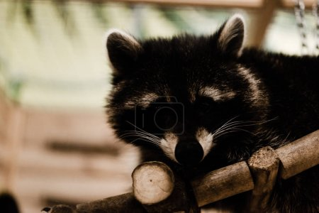 Photo for Cute and fluffy raccoon in zoo - Royalty Free Image