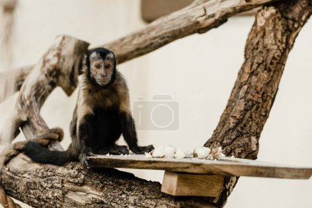 selective focus of monkey sitting near baked potato in zoo