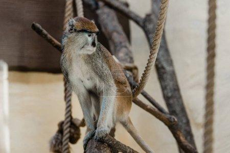 Photo pour Focus sélectif du singe assis près des cordes - image libre de droit