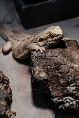 Photo for Selective focus of chameleon near stone in zoo - Royalty Free Image
