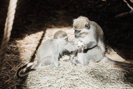 Photo pour Lumière du soleil sur les singes mignons tenant écrou - image libre de droit