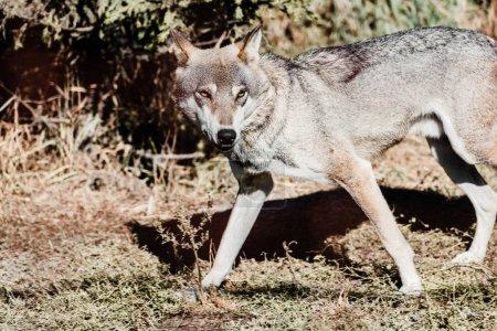 Photo pour Loup dangereux marchant par terre à l'extérieur - image libre de droit