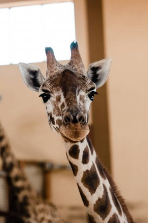 Photo for Selective focus of cute and tall giraffe in zoo - Royalty Free Image