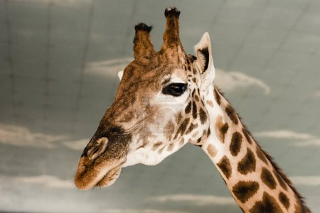 Photo for Cute and tall giraffe in zoo - Royalty Free Image