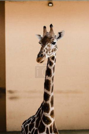 Foto de La jirafa linda con cuello largo en el zoológico. - Imagen libre de derechos
