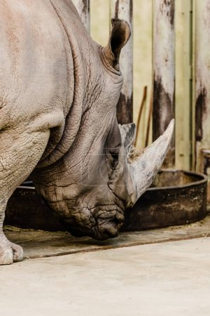 Photo pour Rhino avec une grosse corne debout près de la fosse d'alimentation - image libre de droit