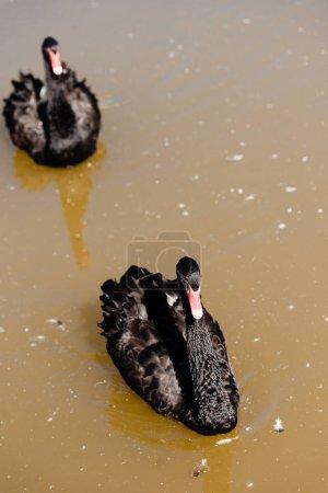"""Photo pour Focalisation sélective des cygnes noirs nageant dans l """"étang - image libre de droit"""