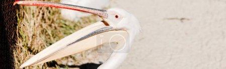 Photo pour Plan panoramique de pélican avec gros bec criant au zoo - image libre de droit