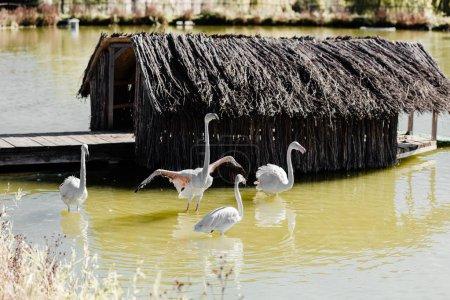 Photo pour Flamingos roses marchant dans un étang près d'un bâtiment - image libre de droit