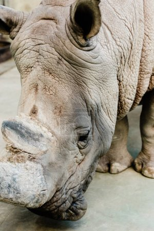 close up of rhino with big horn in zoo