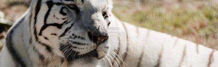 Photo pour Photo panoramique du tigre blanc étendu à l'extérieur dans un zoo - image libre de droit