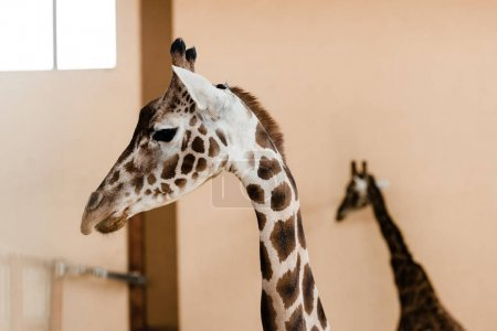 cute and tall giraffes with long necks in zoo