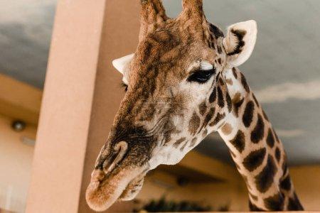 Foto de La jirafa linda y alta con cuello largo y cuernos en el zoológico. - Imagen libre de derechos