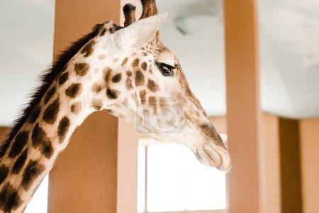 Foto de Enfoque selectivo de alta jirafa con cuello largo y cuernos en zoológico. - Imagen libre de derechos