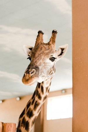 Photo pour Girafe avec long cou et cornes en zooac - image libre de droit