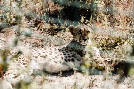 selective focus of leopard lying on grass near cage