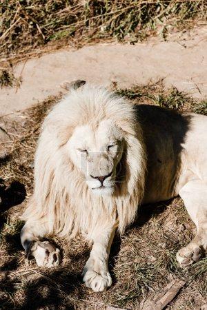 Photo pour Dangereux lion blanc allongé sur le sol près de l'herbe - image libre de droit