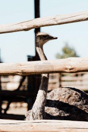 Foto de Enfoque selectivo de avestruz con cuello largo de pie cerca de la cerca de la valla - Imagen libre de derechos
