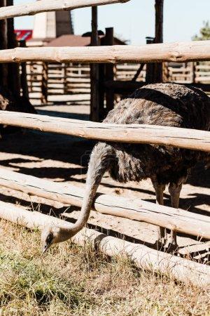 Foto de Avestruz con cuello largo de pie cerca de valla de madera - Imagen libre de derechos