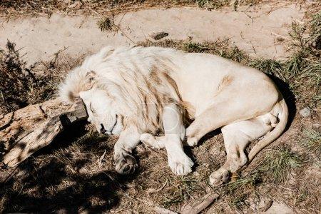 Photo pour Lion blanc dormant sur l'herbe verte à l'extérieur - image libre de droit