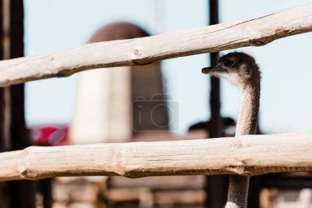Foto de Enfoque selectivo de avestruz con cuello largo de pie cerca de valla de madera - Imagen libre de derechos