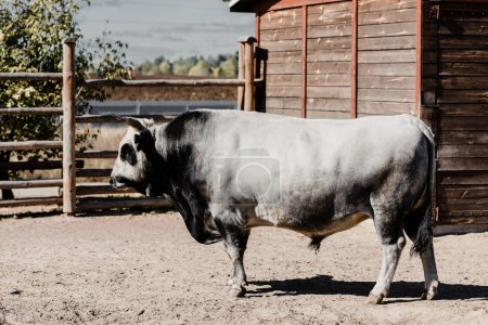 black and white bull standing outside in zoo