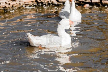 """Photo pour Baguage sélectif des canards blancs dans l """"étang - image libre de droit"""